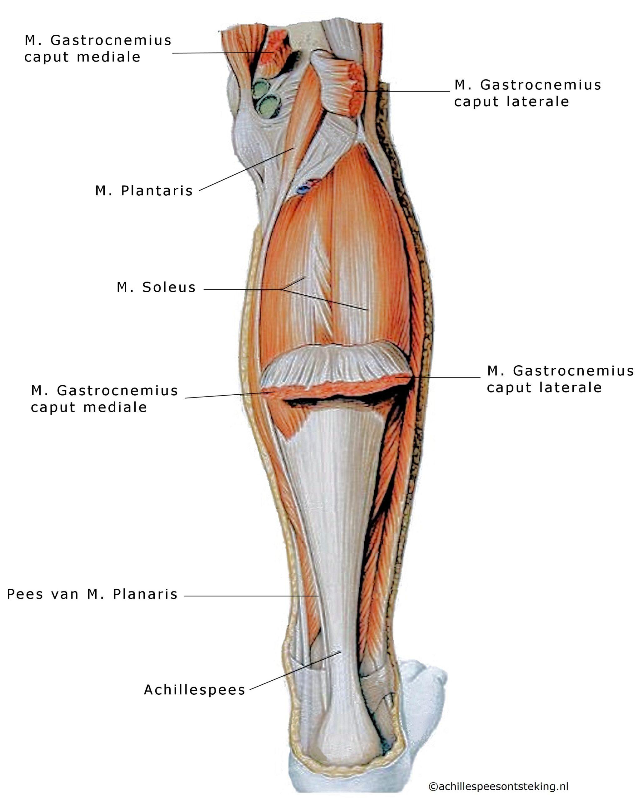 anatomie achillespees spieren