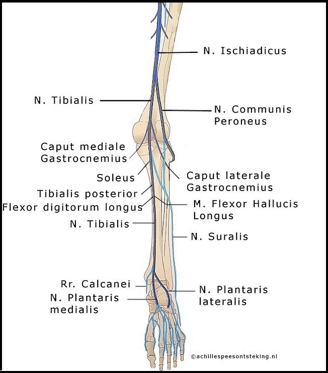 anatomie van de Achillespees innervatie